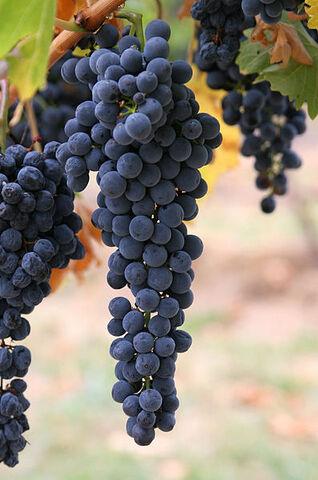 File:Wine grapes03.jpg