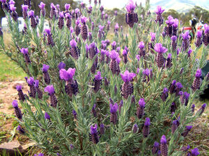 Topped lavender
