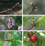 590px-Nectarine Fruit Development
