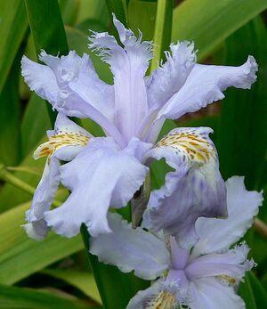 518px-Iris wattii 4