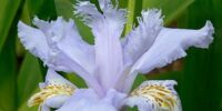 Growing Irises