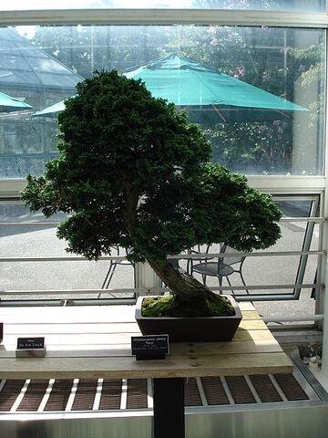 File:Slanting bonsai.jpg