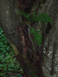 448px-Beech Aerial Roots