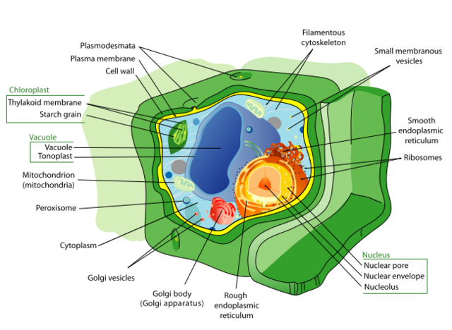 File:Plant Cell.png