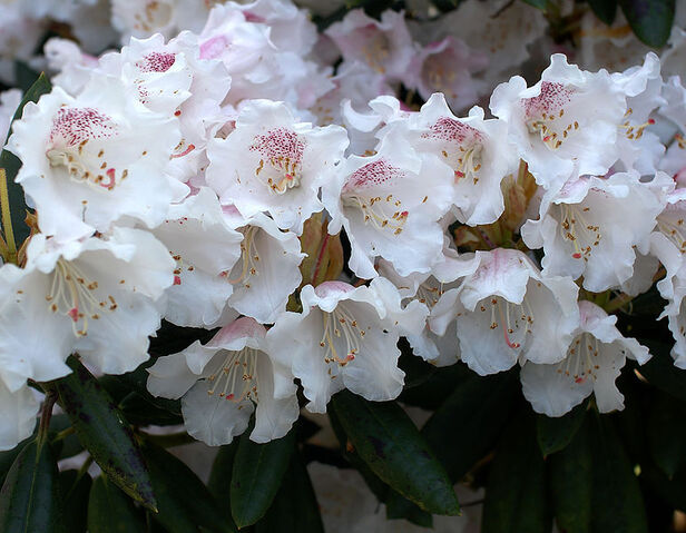 File:771px-Rhododendron wardii var puralbum.jpg