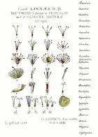 Ehret-Methodus Plantarum Sexualis