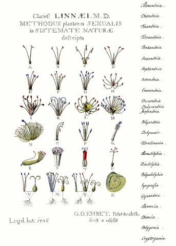 File:Ehret-Methodus Plantarum Sexualis.jpg
