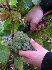 Grape gathering