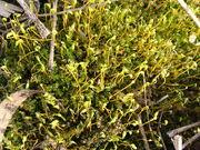 800px-Bryophyte sp Moss 3