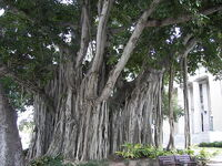 800px-Banyan tree Old Lee County Courthouse