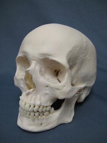 File:Caucasian Human Skull.jpg