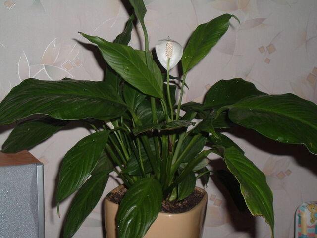 File:Spathiphyllum.jpg