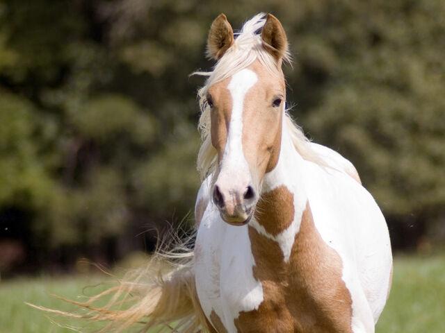 File:Paint Horse Wallpaper yvt2.jpg