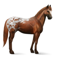 Appaloosa Fuchsschecke Altes Design