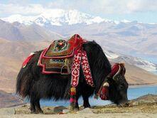 Tibet Domestic Yak