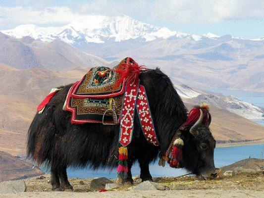 File:Tibet Domestic Yak.jpg