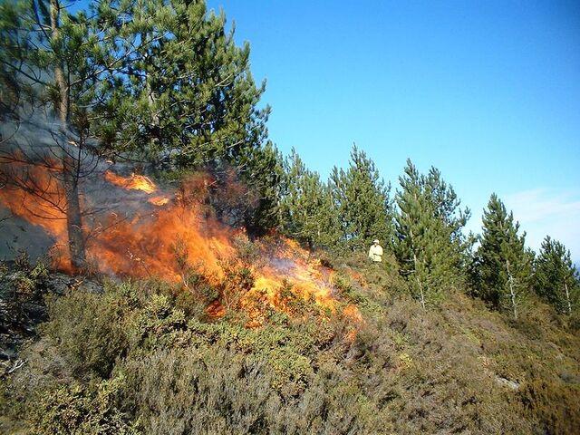 File:Prescribed burn in a Pinus nigra stand in Portugal.JPG