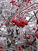 File:Frozen rain covering crabapples.jpg