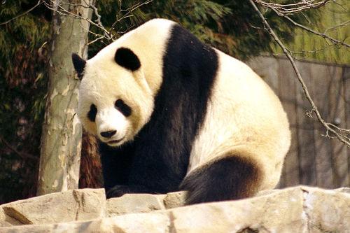 File:Giant Panda.jpg