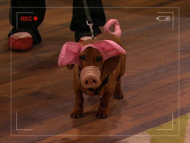 File:Robyn's Weiner-Dog-Pig.JPG