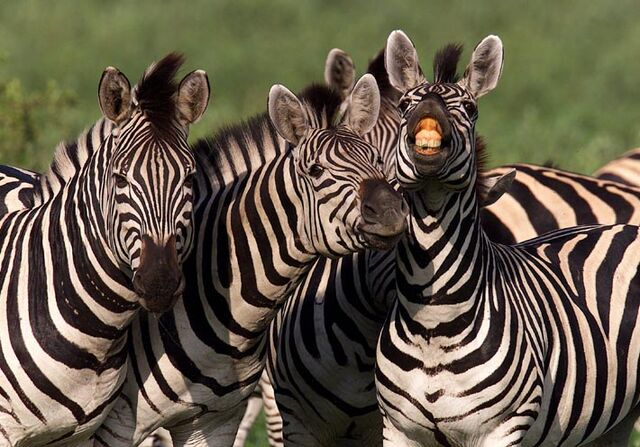 File:Zebras-md34P59506.jpg