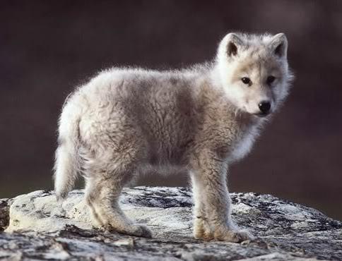 File:Baby wolf.jpg