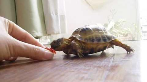 Tortoise chasing a tomato
