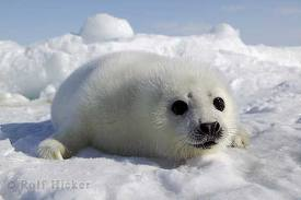 File:A seal pup.jpg