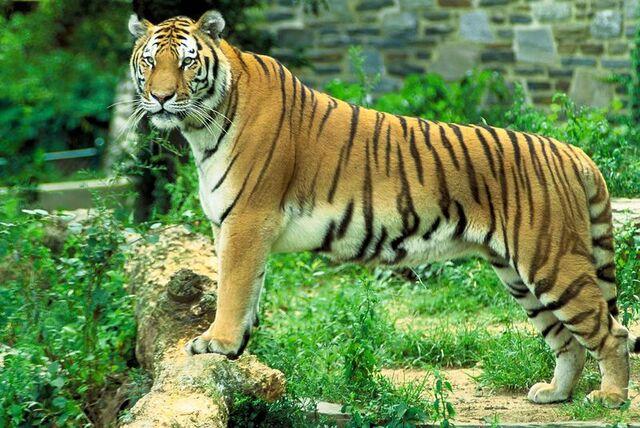 File:Panthera tigris tigris.jpg