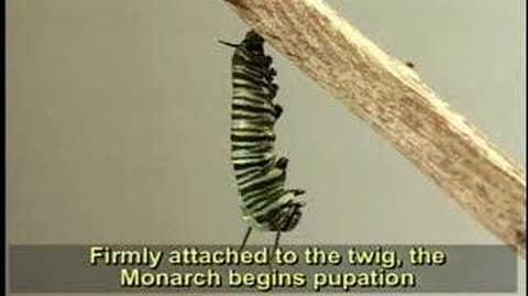 Complete Life Cycle of the Monarch Butterfly-0