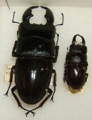 Flat stag beetle