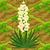 Yucca 70