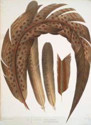 180px-Argus ocellatus & Argus bipunctatus
