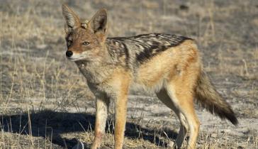 File:364px-Black backed jackal large.jpg