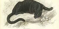 Appalachian Black Panther