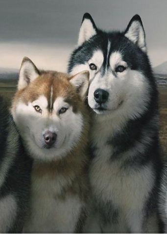 File:SiberianHuskiesPicture.png