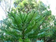Wollemi pine tips
