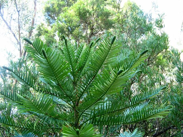File:Wollemi pine tips.jpg