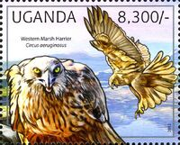 Uganda 2012 Fauna of African Great Lakes Region - Birds of Prey - Western Marsh Harrier e