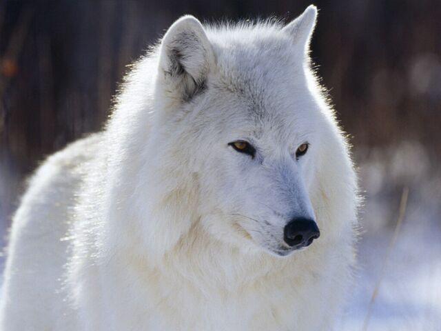 File:White-Wolf-wolves-4964030-1024-768.jpg