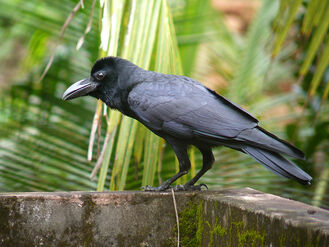 Indian Crow