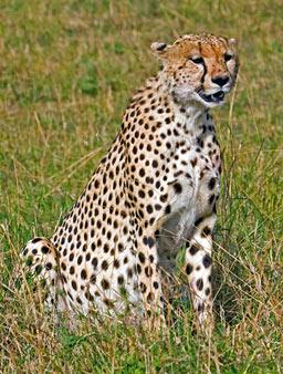 File:ABC-CheetahW.jpg
