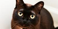 Burmese - Sable (fur)