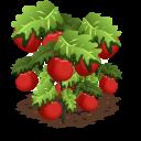 Tomato last