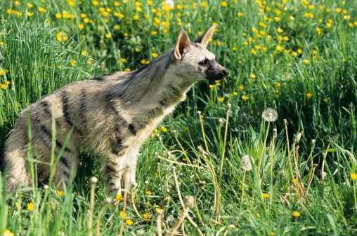 File:Aardwolf.jpg