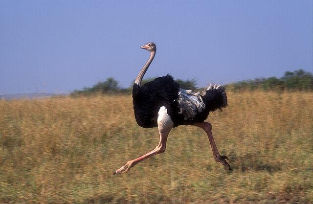 File:1164854-ostrich.jpg