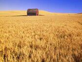 Darrell-gulin-old-barn-in-wheat-field-eastern-washington
