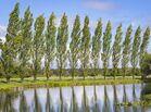 Row-poplar-trees-lake-foreground-62505693