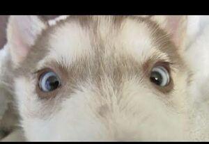 Laika darling eyes