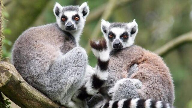 File:Lemur.jpeg
